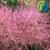 Cotinus coggygria Smokey Joe (2)