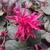 Loropetalum chinense rubrum Rouge de la Majorie