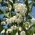 Styrax japonicus June Snow (2)