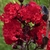 Lagerstroemia indica Black Solitaire Red Hot