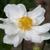Anemone Whirlwind (2)