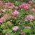 Hydrangea arbrescens Invincibelle