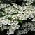 Viburnum plicatum Watanabe (2)