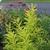 Salix sachalensis Golden Sunshine