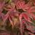 Acer palmatum Shirazz (2)