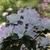 Rhododendron Iroha Yama