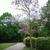 Paulownia tomentosa (2)