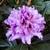 Rhododendron Kabarett (3)