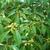 Schima argentea (3)