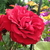 Rosa Thats Jazz (2)