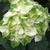 Hydrangea macrophylla Wings