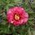 Paeonia itoh Pink Ardour