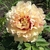 Paeonia itoh Canary Brillants (1)