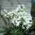 Agapanthus Little Dutch White