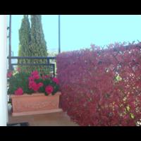 Treillis feuilles vigne vierge rouge