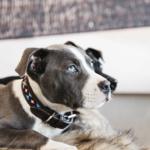 collier-pour-chien-perles-kentucky-bleu3