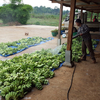 nettoyage-bananes-laos
