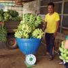 recolte-pesee-bananes-laos