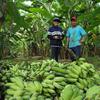 recolte-bananes-laos