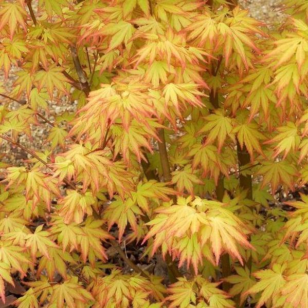 Acer palmatum orange dream erable du japon carr vert p pini re - Erable du japon orange dream ...