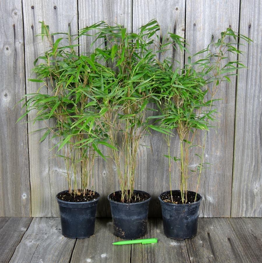 bambou non traçant fargesia rufa, bambou fargesia rufa en pot