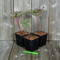 Lot de 3 Pivoines Herbacées - Paeonia lactiflora - Variétés au Choix