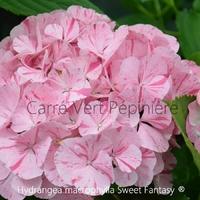 Hydrangea macrophylla SWEET FANTASY ® - Hortensia