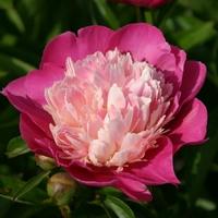 Paeonia lactiflora GAY PAREE - Pivoine herbacée