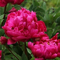 Paeonia lactiflora KARL ROSENFIELD - Pivoine herbacée