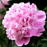 Paeonia lactiflora M. JULES ELIE - Pivoine herbacée