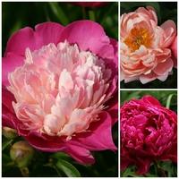 Trio Pivoine herbacée - CORAL CHARM / GAY PAREE / KARL ROSENFIELD - Paeonia lactiflora