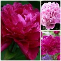 Trio Pivoine herbacée - M. JULES ELIE / KANSAS / PURPLE SPIDER - Paeonia lactiflora