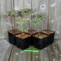 Lot de 5 Pivoines Herbacées - Paeonia lactiflora - Variétés au Choix