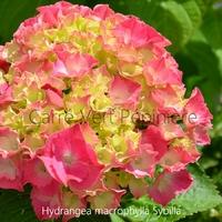 Hydrangea macrophylla SYBILLA - Hortensia