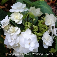 Hydrangea macrophylla WEDDING GOWN ® - Hortensia