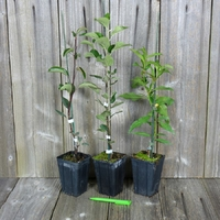 Lot de 3 PLANTS FRUITIERS GREFFES - Variétés au Choix
