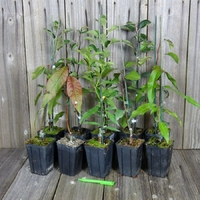 Lot de 10 PLANTS FRUITIERS GREFFES - Variétés au Choix