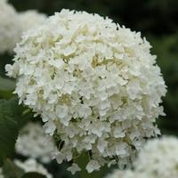 Hydrangea arborescens ANNABELLE - Hortensia