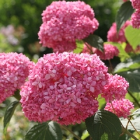 Hydrangea arborescens PINK ANNABELLE - Hortensia