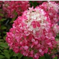Hydrangea paniculata DIAMANT ROUGE ® - Hortensia