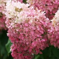 Hydrangea paniculata PINKY WINKY - Hortensia