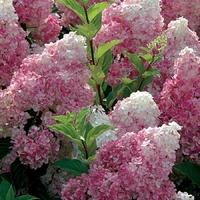 Hydrangea paniculata VANILLE FRAISE® - Hortensia