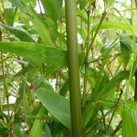 Phyllostachys atrovaginata GREEN PERFUME - Bambou
