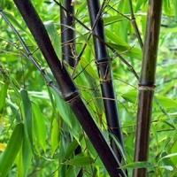 Phyllostachys NIGRA - Bambou