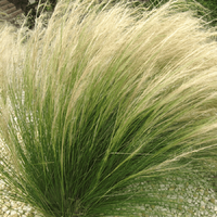 Stipa tenuissima PONY TAILS - Graminée