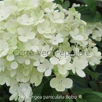 Hydrangea paniculata BOBO ® - Hortensia