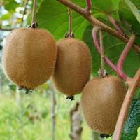 Kiwi SOLISSIMO - Kiwi Autofertile - Actinidia