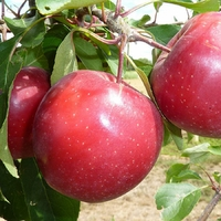 Pommier MAGGY - Pomme à chair rouge