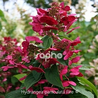 Hydrangea paniculata FIRE ® - Hortensia
