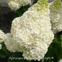 Hydrangea paniculata MOONLIGHT ® - Hortensia